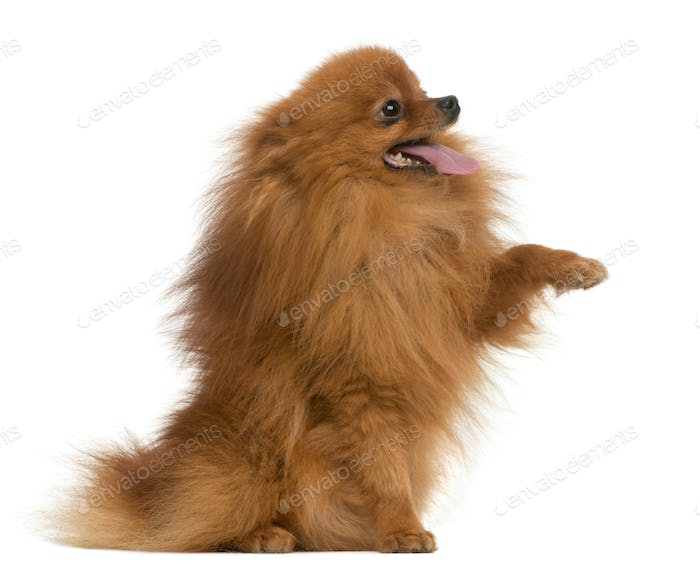 Spitz, 3 years old, with paw up in front of white background
