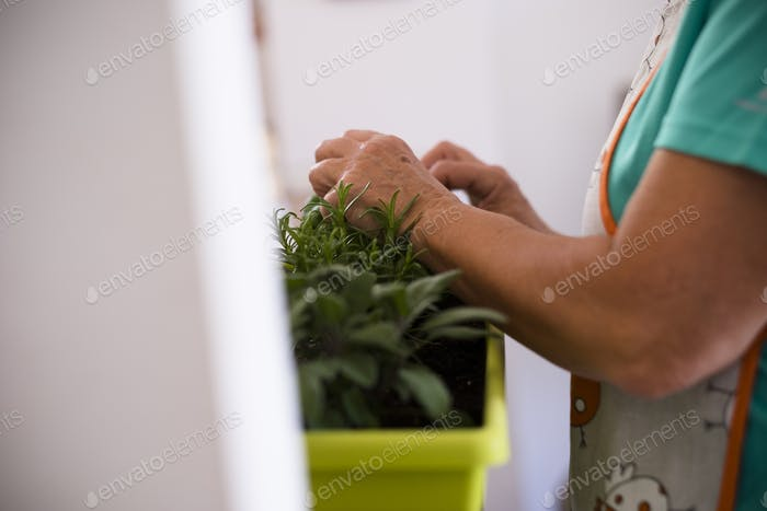 senior woman planting a plant at home indoor - woman retired and mature