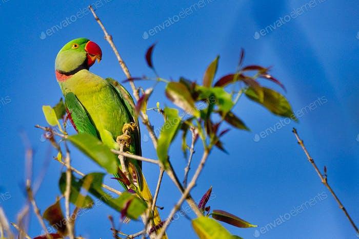 Alexandrine Parakeet, Royal Bardia National Park, Nepal