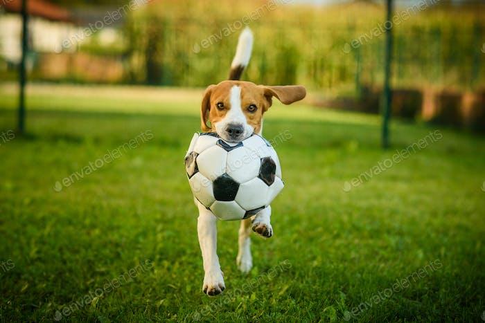 Hund Beagle reinrassige laufen mit einem Fußballball im Park im Freien in Richtung Kamera Sommer sonnigen Tag auf