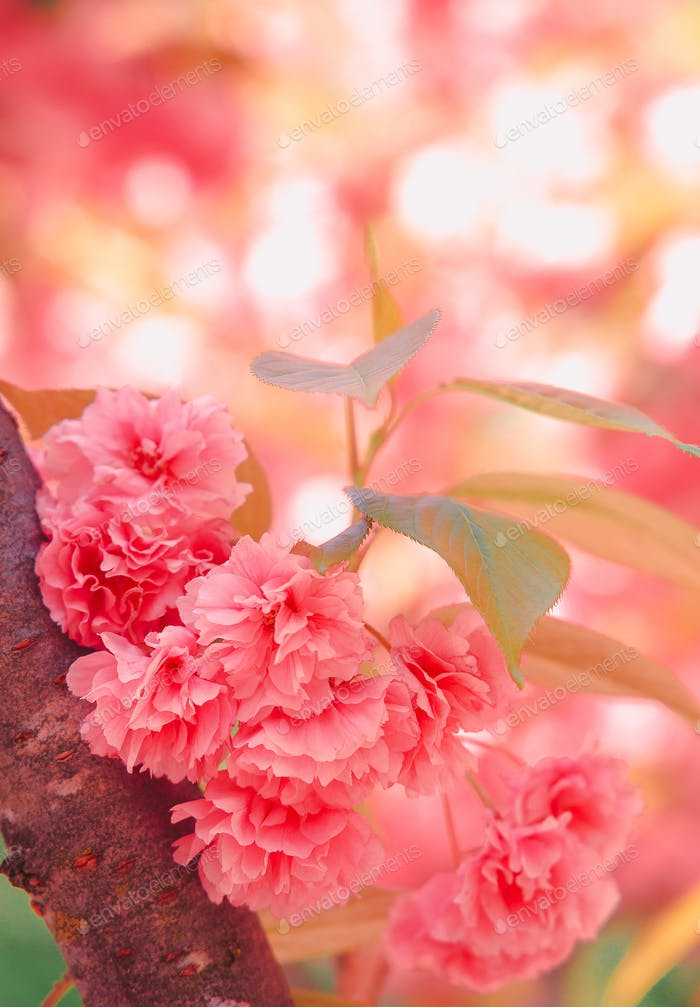 Fashion aesthetics outdoors. Pink Flowers. Cherry blossom