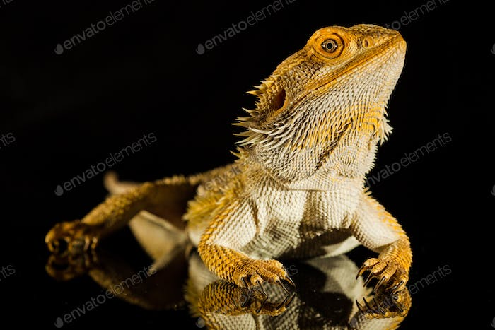 Agama bearded dragon reptile on black background