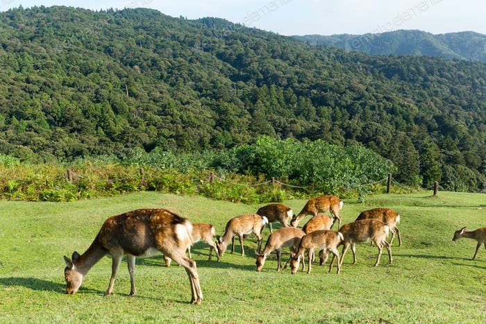 Group Deer eating grass on mountian