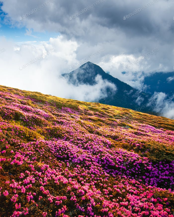 Magic pink rhododendron flowers on summer mountains
