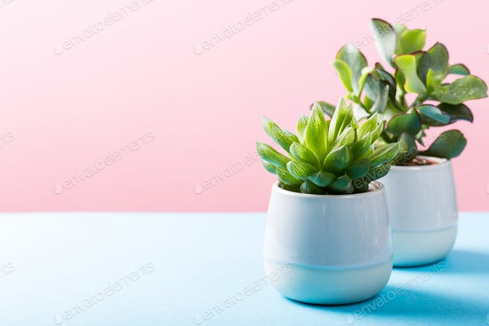Indoor plant succulent plant in gray ceramic pot