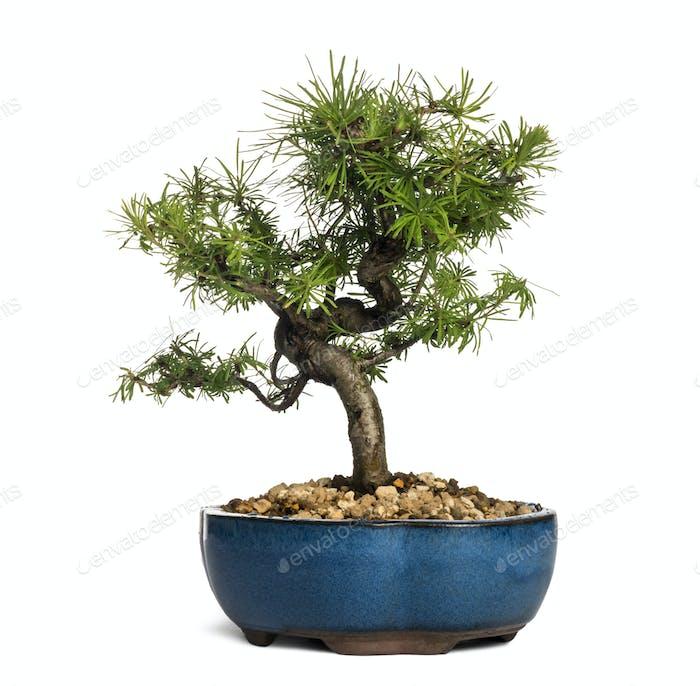European larch bonsai tree, Larix decidua, isolated on white