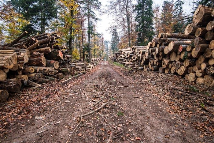 Entwaldung in ländlichen Gebieten. Holzernte im Wald