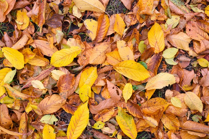 Natural background of fallen leaves. Outdoor. Autumn leaves on t