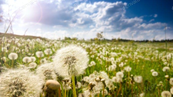 Dandelion field at spring sunny day