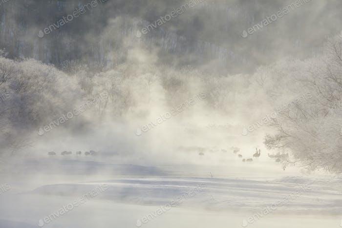 Rotgekrönte Kraniche (Grus japonensis) im Wald im Winter.