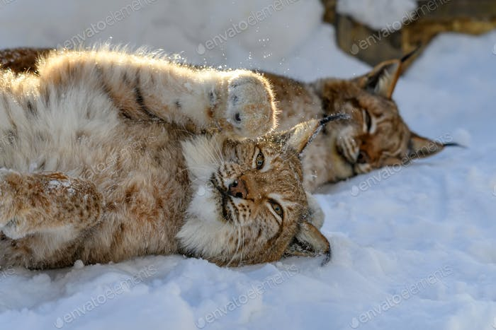 Lynx in the snow. Wildlife scene from winter nature
