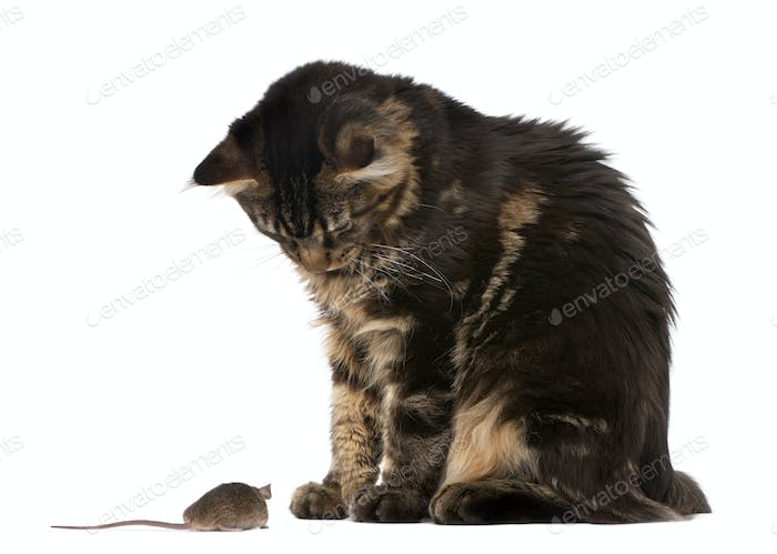 Maine Coon looking at wild mouse, 7 months old, in front of white background
