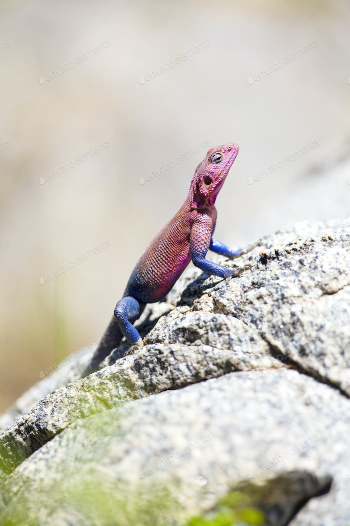 Colorfull gecko on a rock in Africa