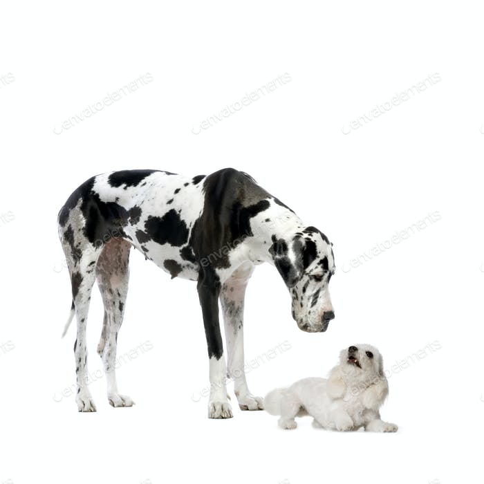 Great Dane HARLEQUIN and maltese dog
