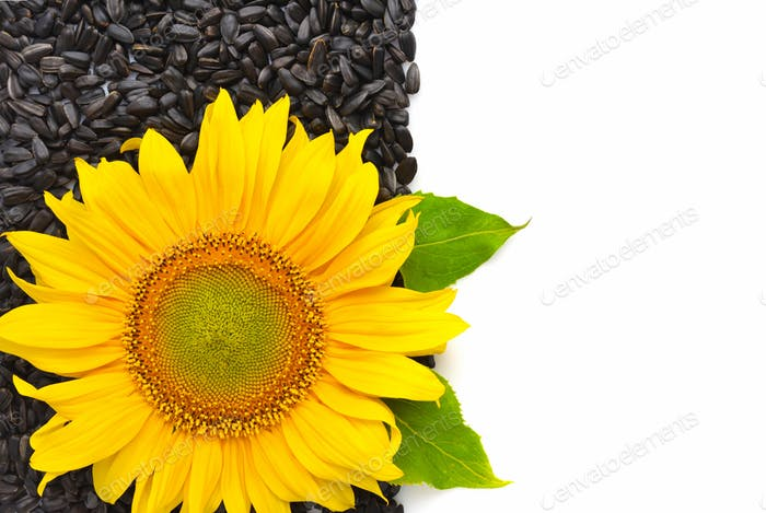 Yellow sunflower and sunflower seeds on a white background with