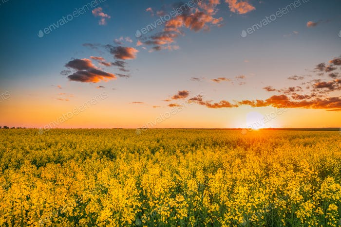 Sun At Sunset Sunrise Over Horizon Of Spring Flowering Canola, R