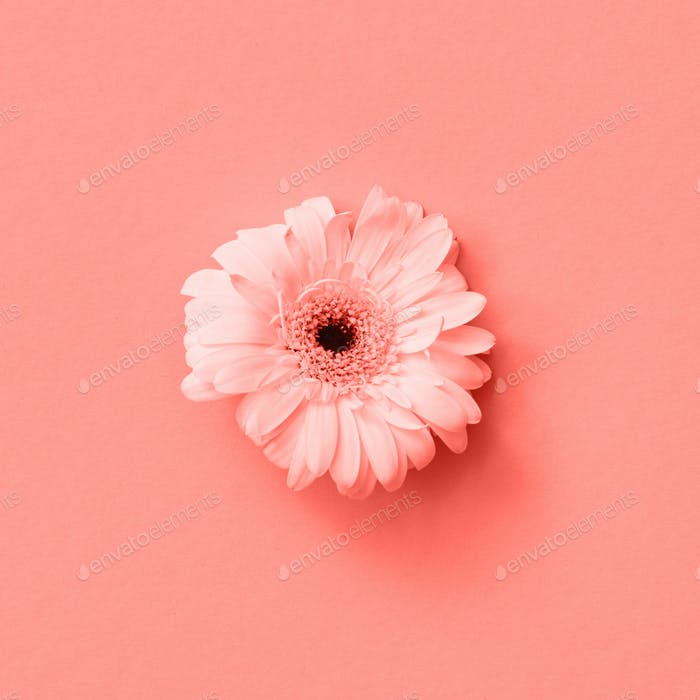 Greeting Card with fresh gerbera flower in a color of Living Coral Pantone on a same color