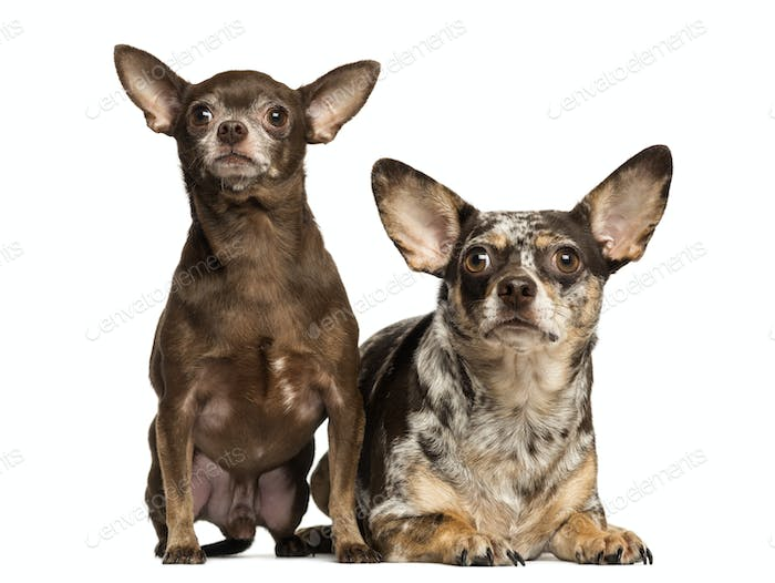 Chihuahua looking up, next to each other, 3 and 2 years old, isolated on white