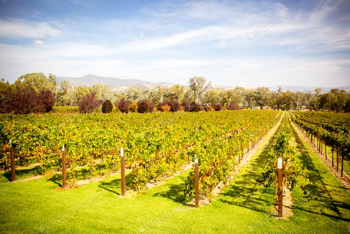 Alpine Valley Vines in Autumn