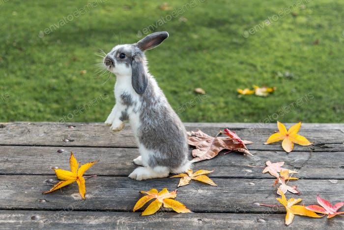 Kaninchen, Hase