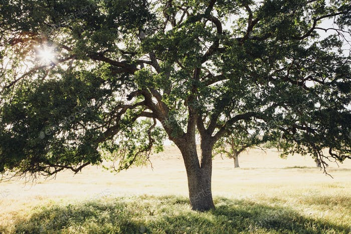 A mature California oak tree, with spreading branches and green leaves.