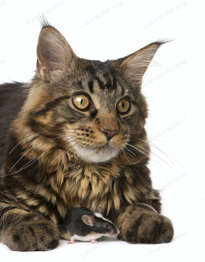 Maine Coon and mouse, 7 months old, sitting in front of white background