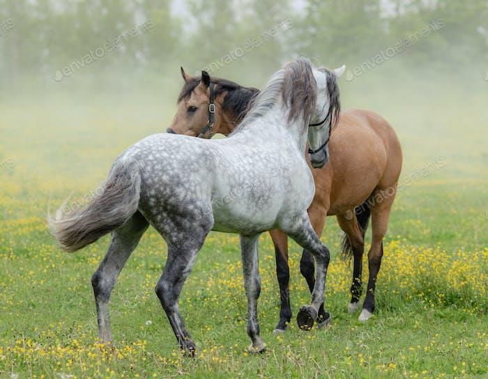 Spanish stallion and mare on summer pasture.