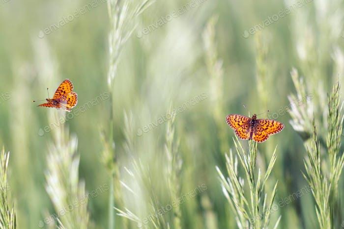 Butterfly - Dark Green Fritillary, Argynnis aglaja