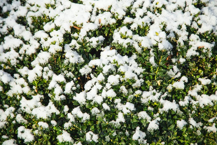 Boxwood tree covered with snow.