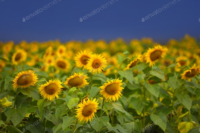 Sunflower field on the background of a dark blue storm clouds