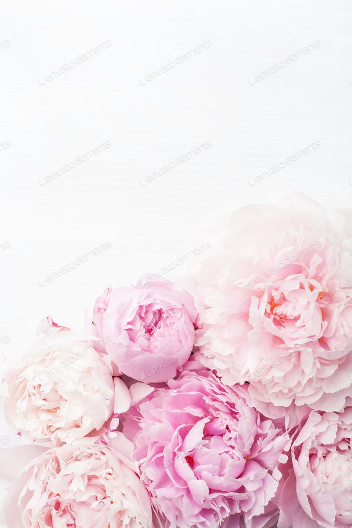 beautiful pink peony flower background