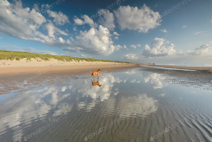 dog standing in water on north sea beach
