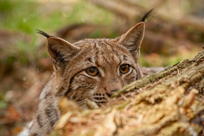 Eurasian lynx hidden behind fallen tree peeking out