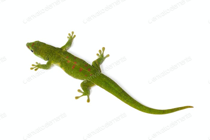 Madagaskar Day Gecko