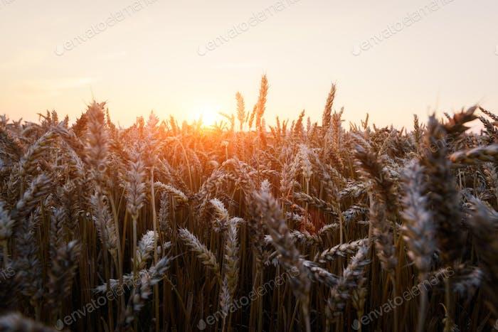 Reife goldene Weizenfeld vor dem blauen Himmel Hintergrund
