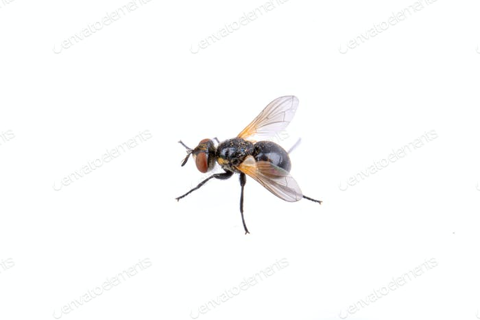 Black fly isolated on a white background