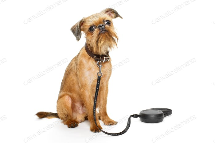 Dog breed Brussels Griffon waiting for a walk