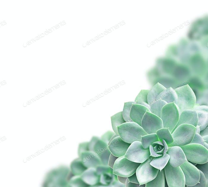 Rahmen von Kakteen Sukkulenten Pflanze auf weiß isoliert