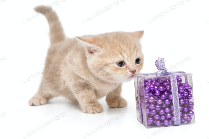 Small British kitten and Christmas toy