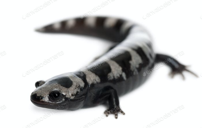 Marbled Salamander, Ambystoma opacum, in front of white background