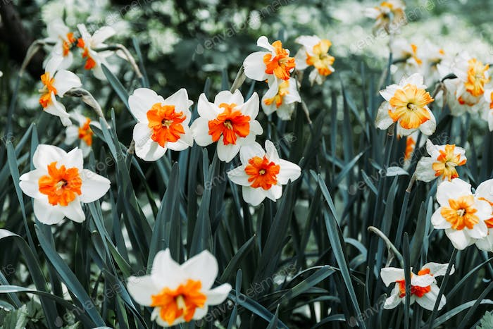 Full frame of white orange daffodils