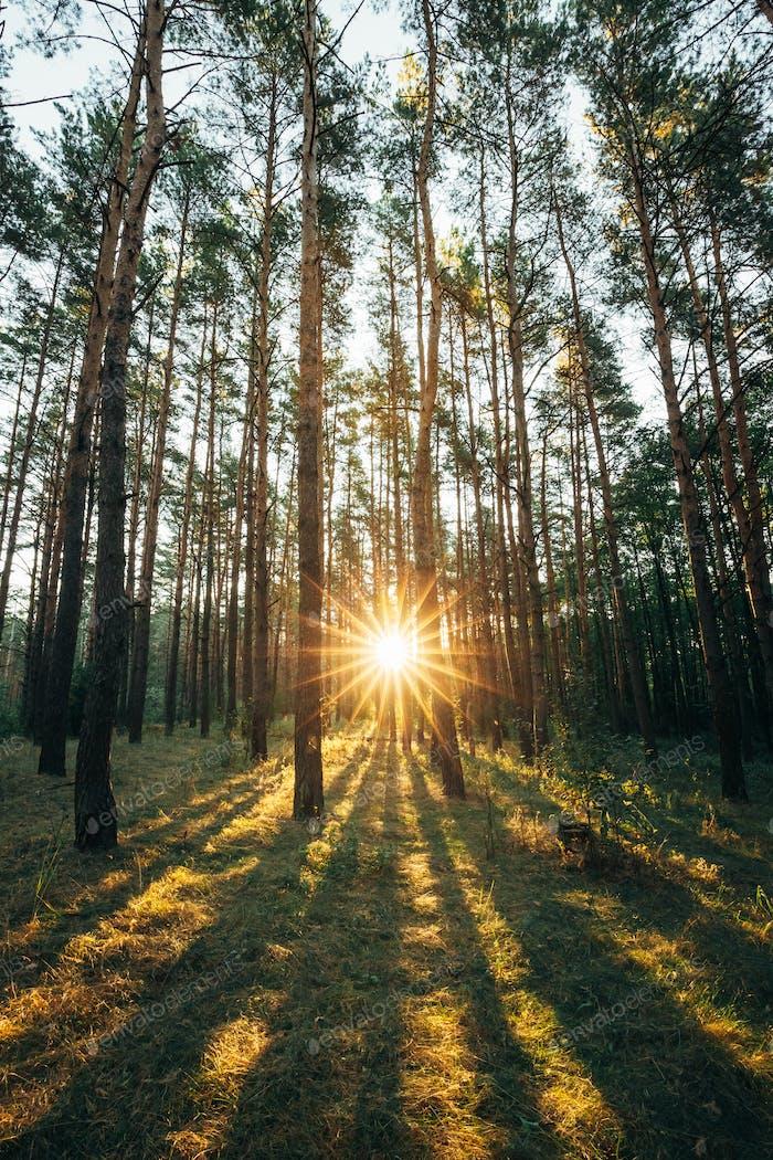 Beautiful Sunset Sunrise Sun Sunshine In Sunny Summer Coniferous