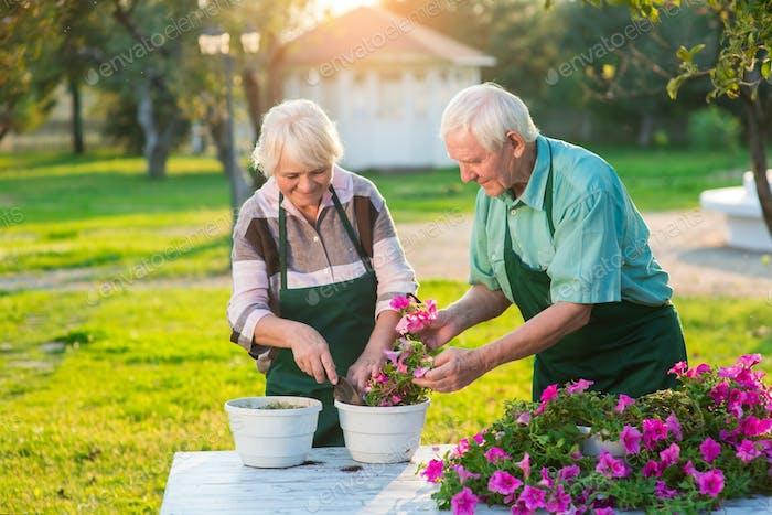 Old gardeners transplanting flowers