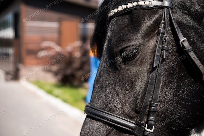 close-up view of beautiful black purebred horse with bridle