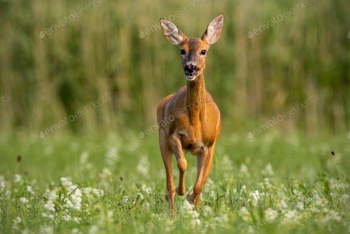 Roe deer, capreolus caprelous, running across meadow with wildflowers