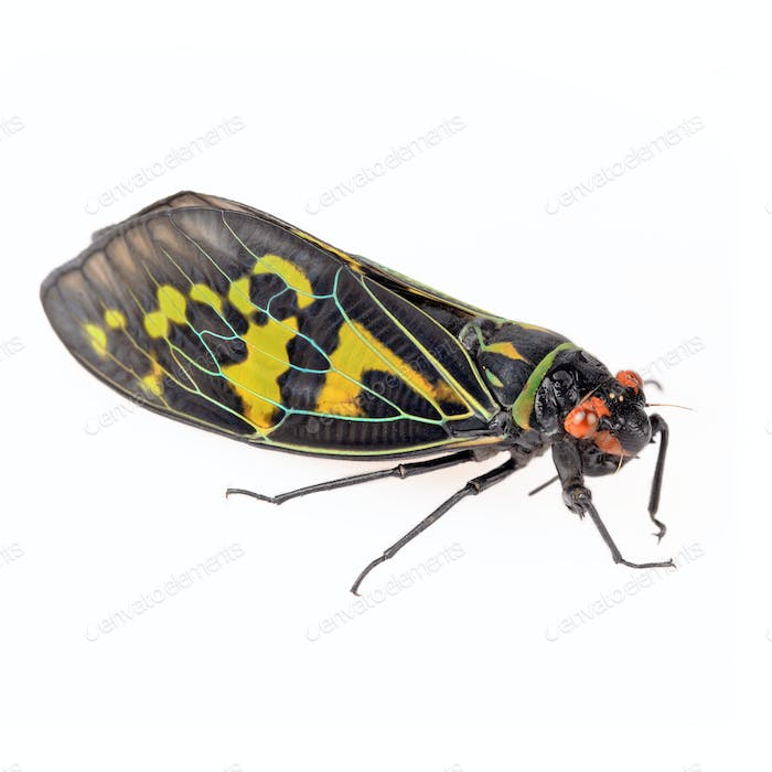 color cicada isolated