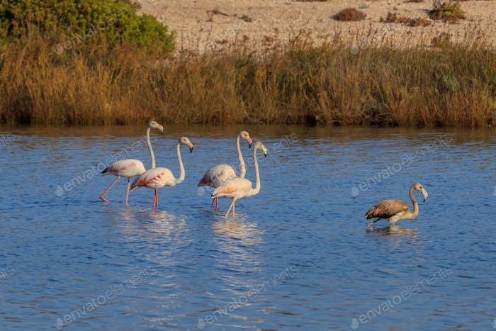 pink flamingos walking through the water