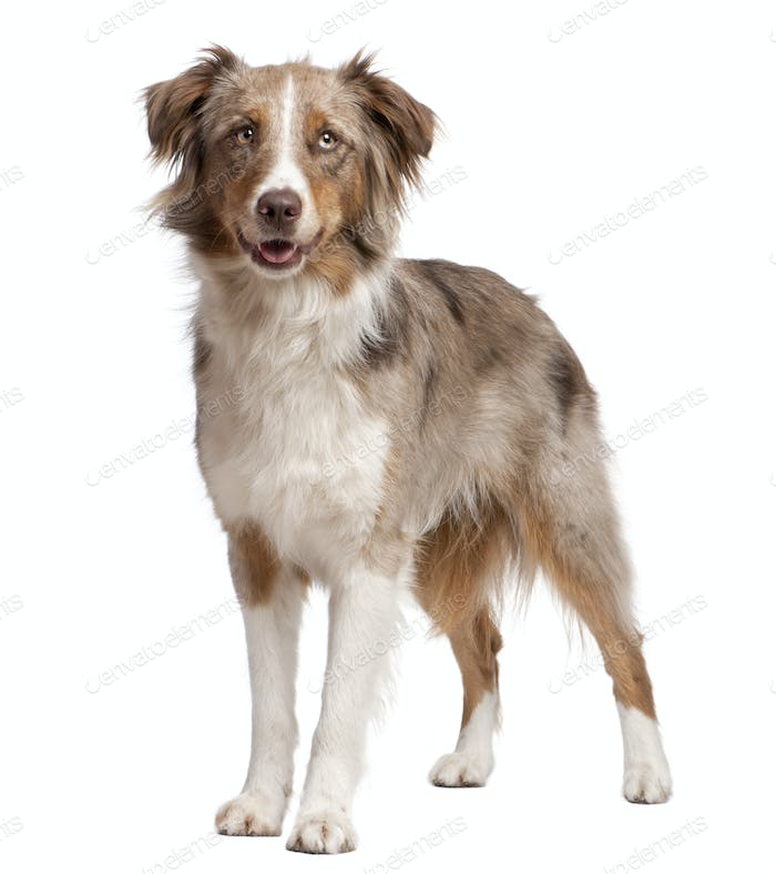 Australian Shepherd dog standing in front of a white background