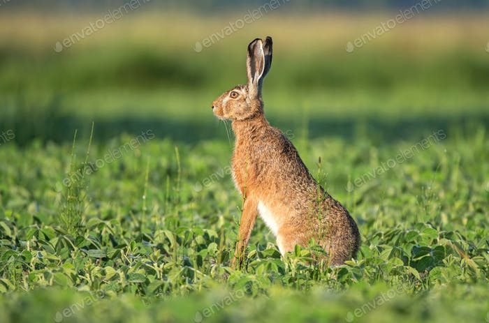 Brow hare sitting in a soy field