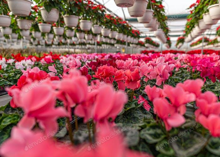 Rosa Alpenveilchen blühen